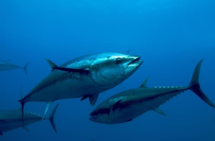 Ikan Terlangka Tuna Sirip Biru