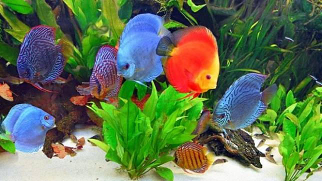 gambar ikan hias air tawar