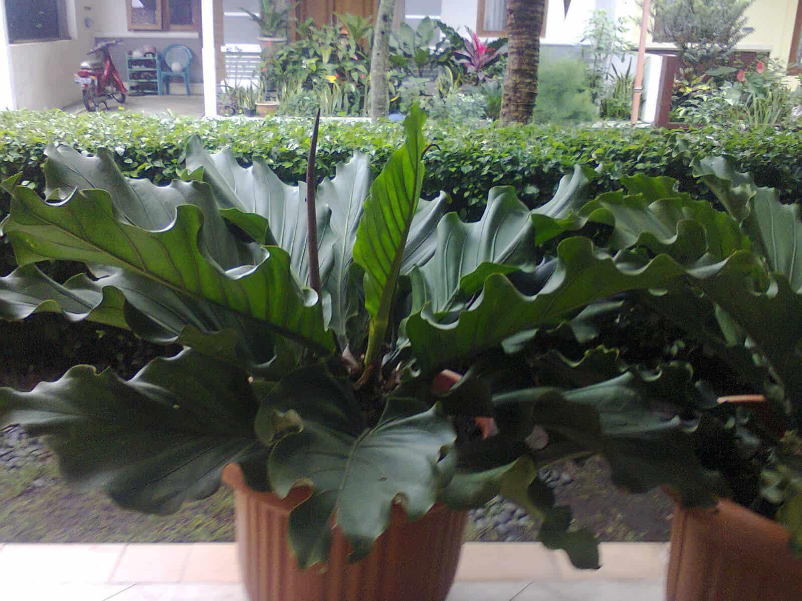 gambar tanaman gelombang cinta